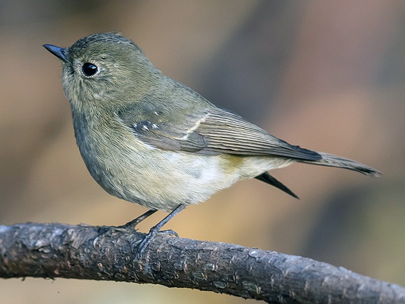 Slaty-backed Flycatcher - Matthew Kwan