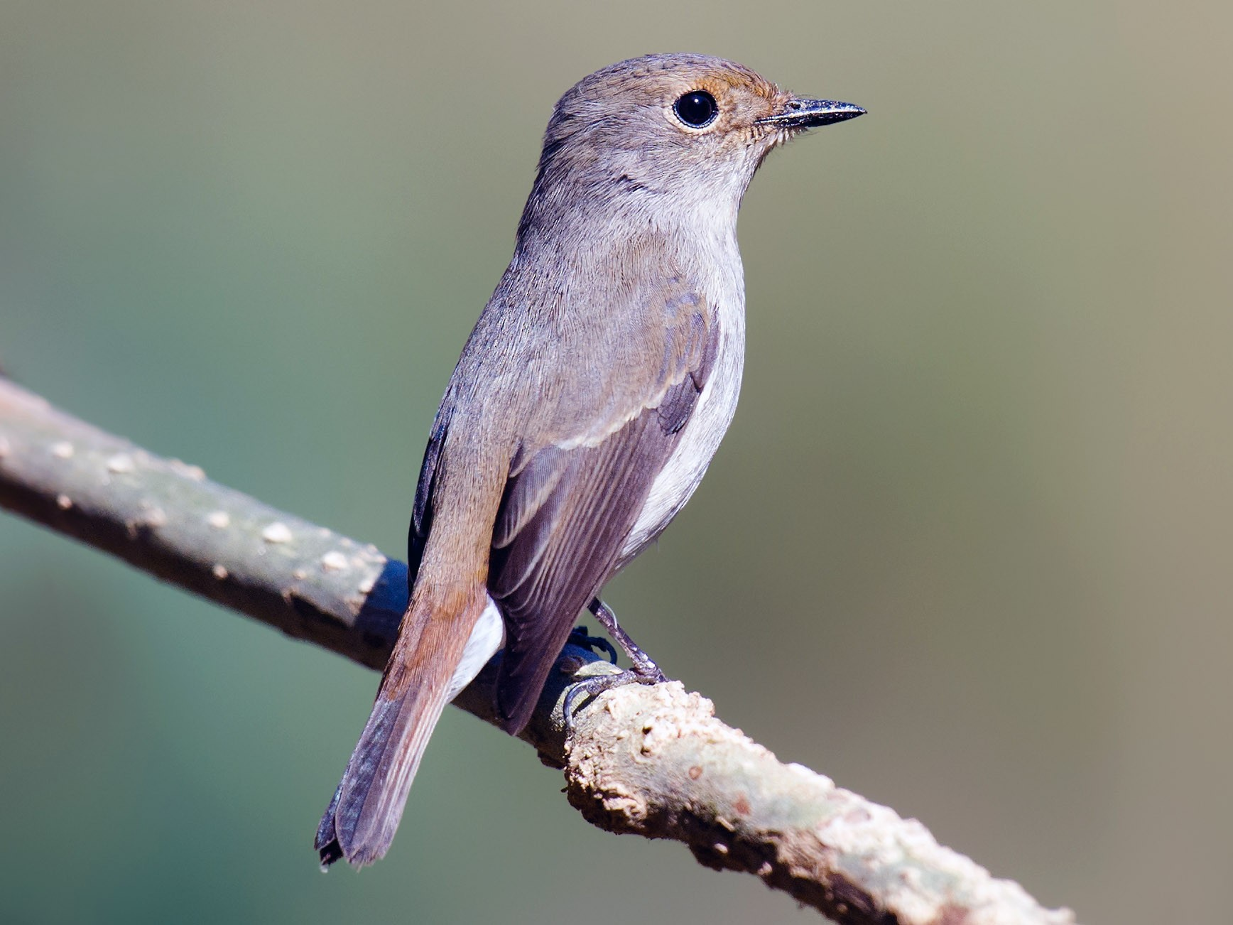 Slaty-backed Flycatcher - Craig Brelsford