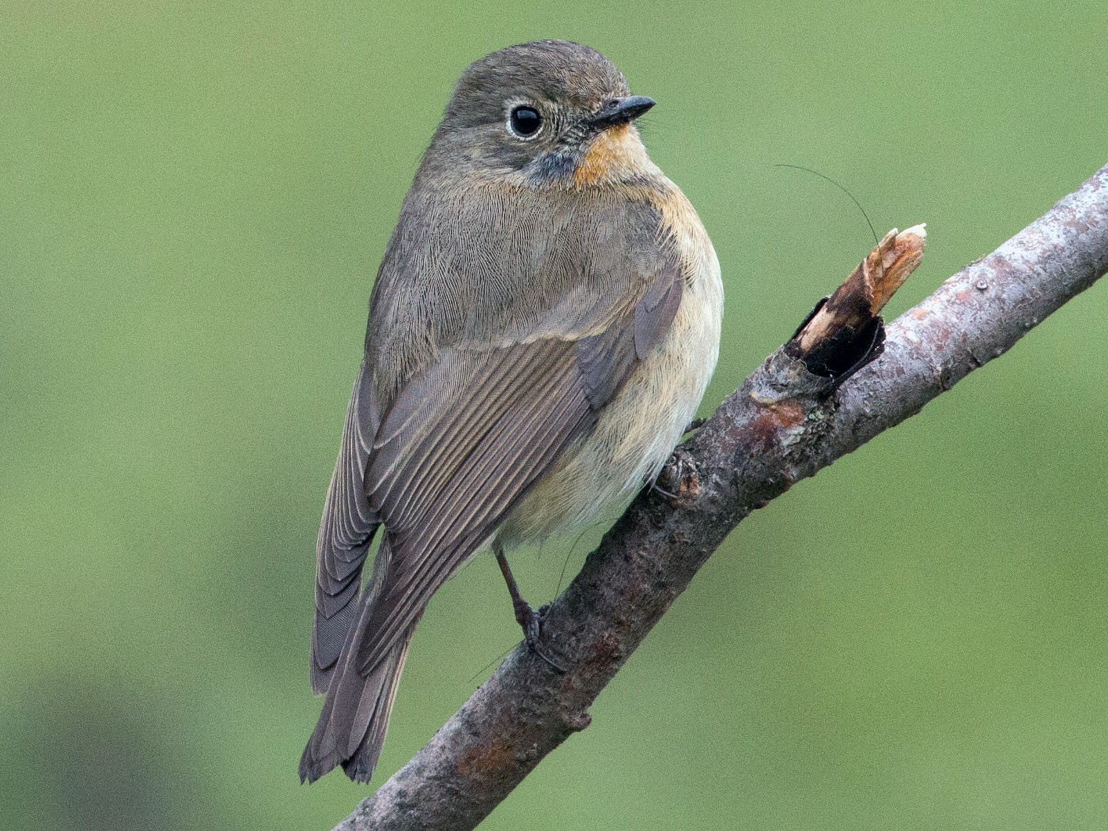 Slaty-backed Flycatcher - Ian Davies