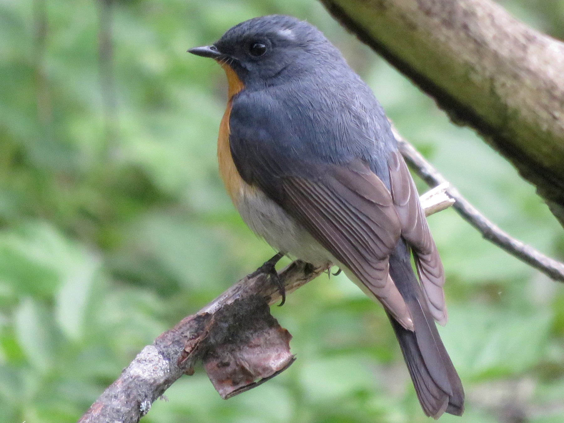 Slaty-backed Flycatcher - Alban Guillaumet