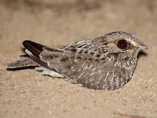 - Sickle-winged Nightjar