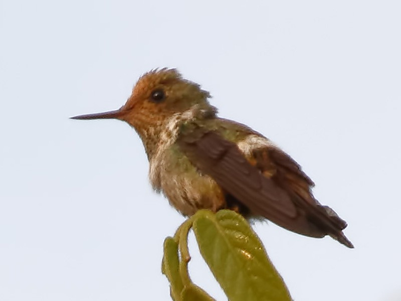 Dot-eared Coquette - Dave Curtis