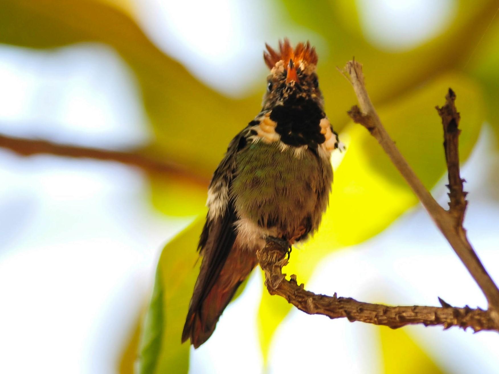 Dot-eared Coquette - Marcelo Barbosa     - TO Birding