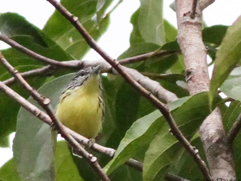 Yellow-throated Antwren - Ian Davies
