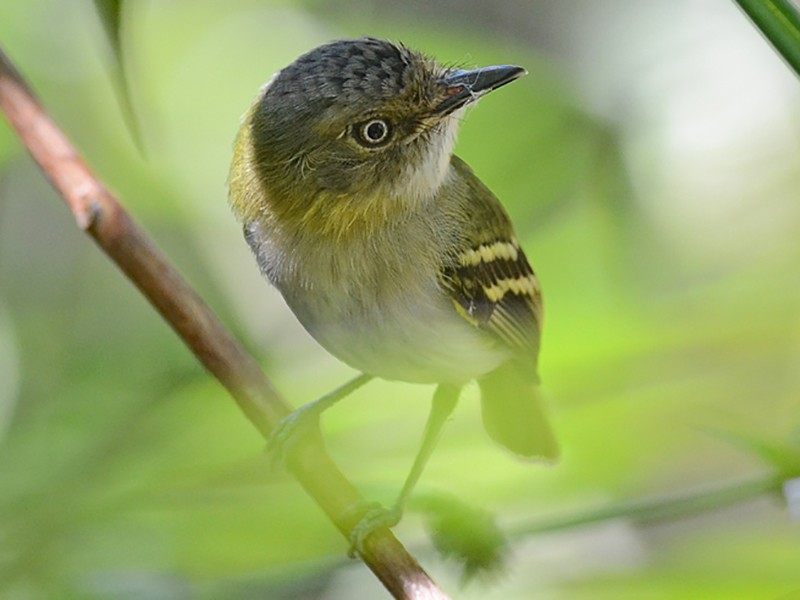 Buff-cheeked Tody-Flycatcher - Bruno Rennó