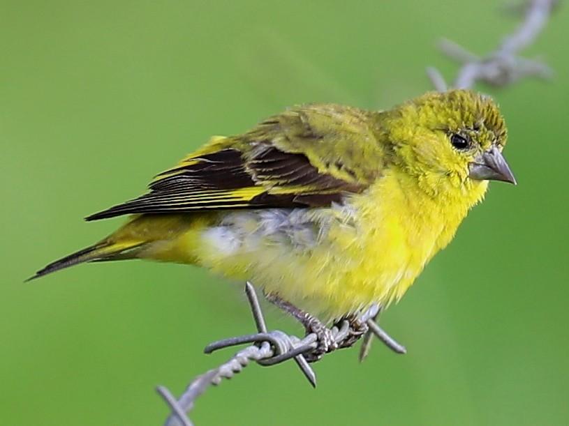 Yellow-faced Siskin - Peter Kyne