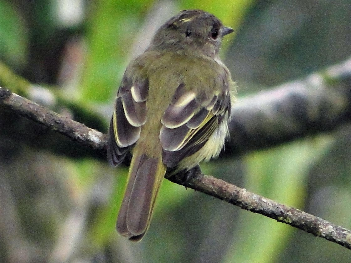 Yellow-crowned Elaenia - Carlos Gussoni