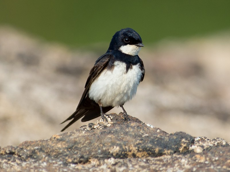 Black-collared Swallow - Joao Quental JQuental