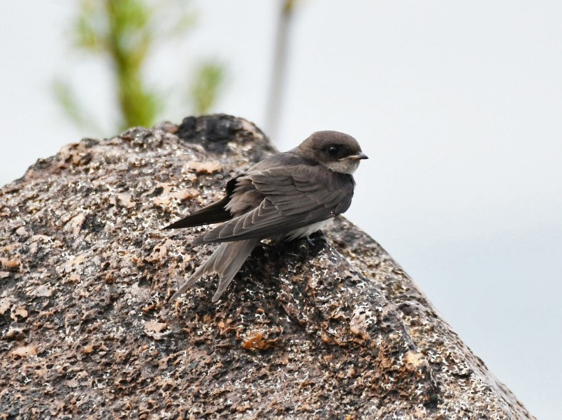 Black-collared Swallow - Nereston Camargo