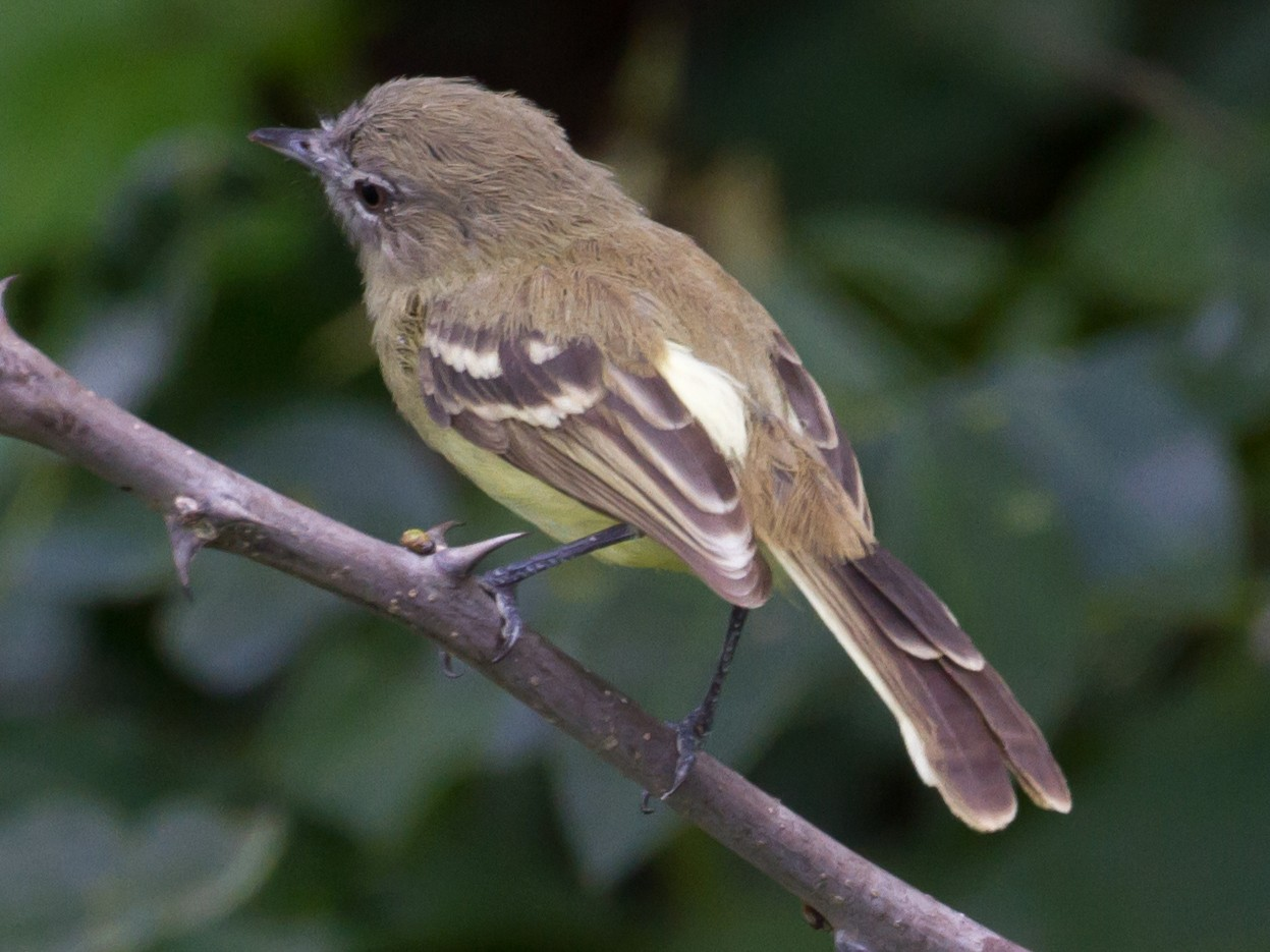Pale-tipped Tyrannulet - Cullen Hanks