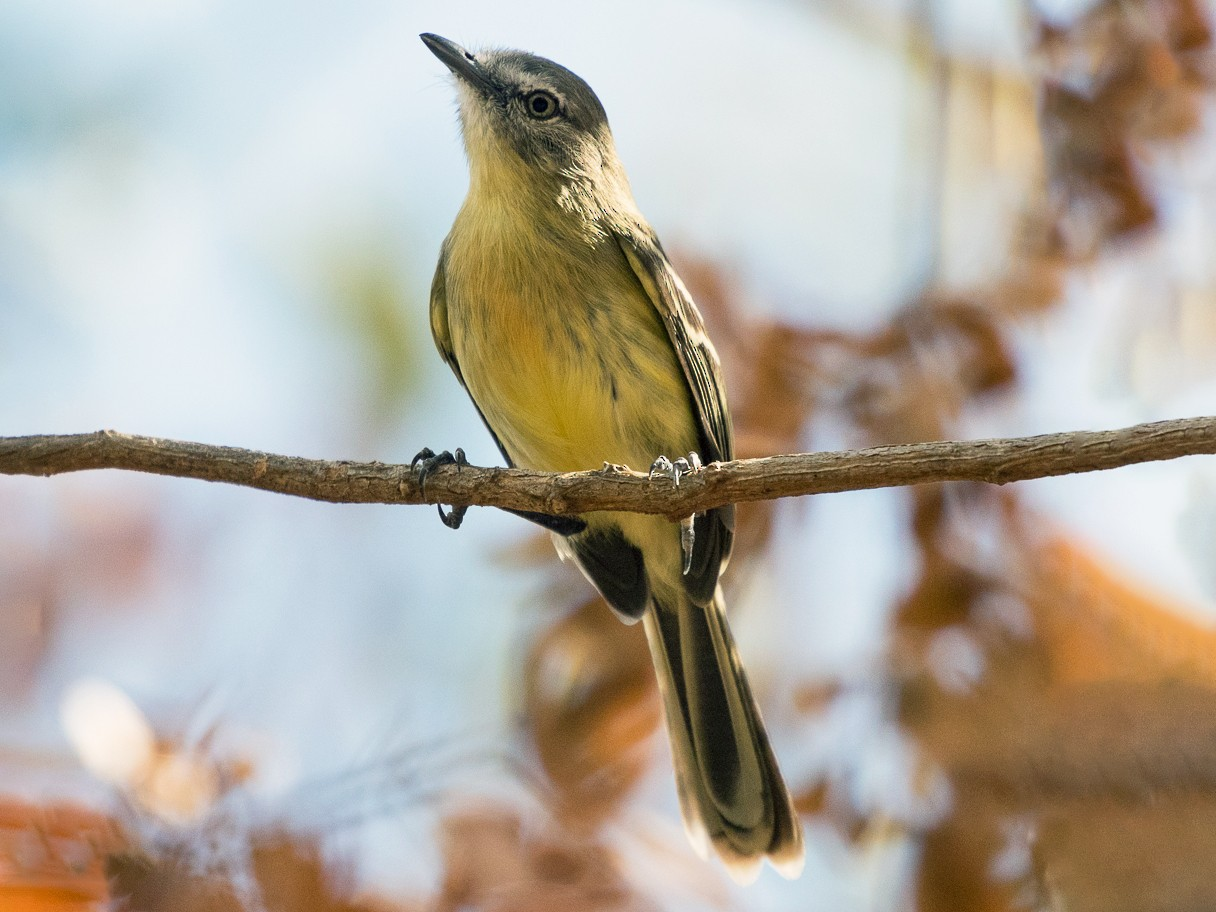 Pale-tipped Tyrannulet - Silvia Faustino Linhares