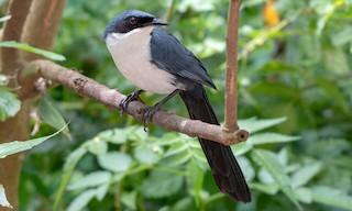 - Blue-and-white Mockingbird