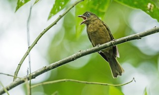 - Ochre-breasted Tanager