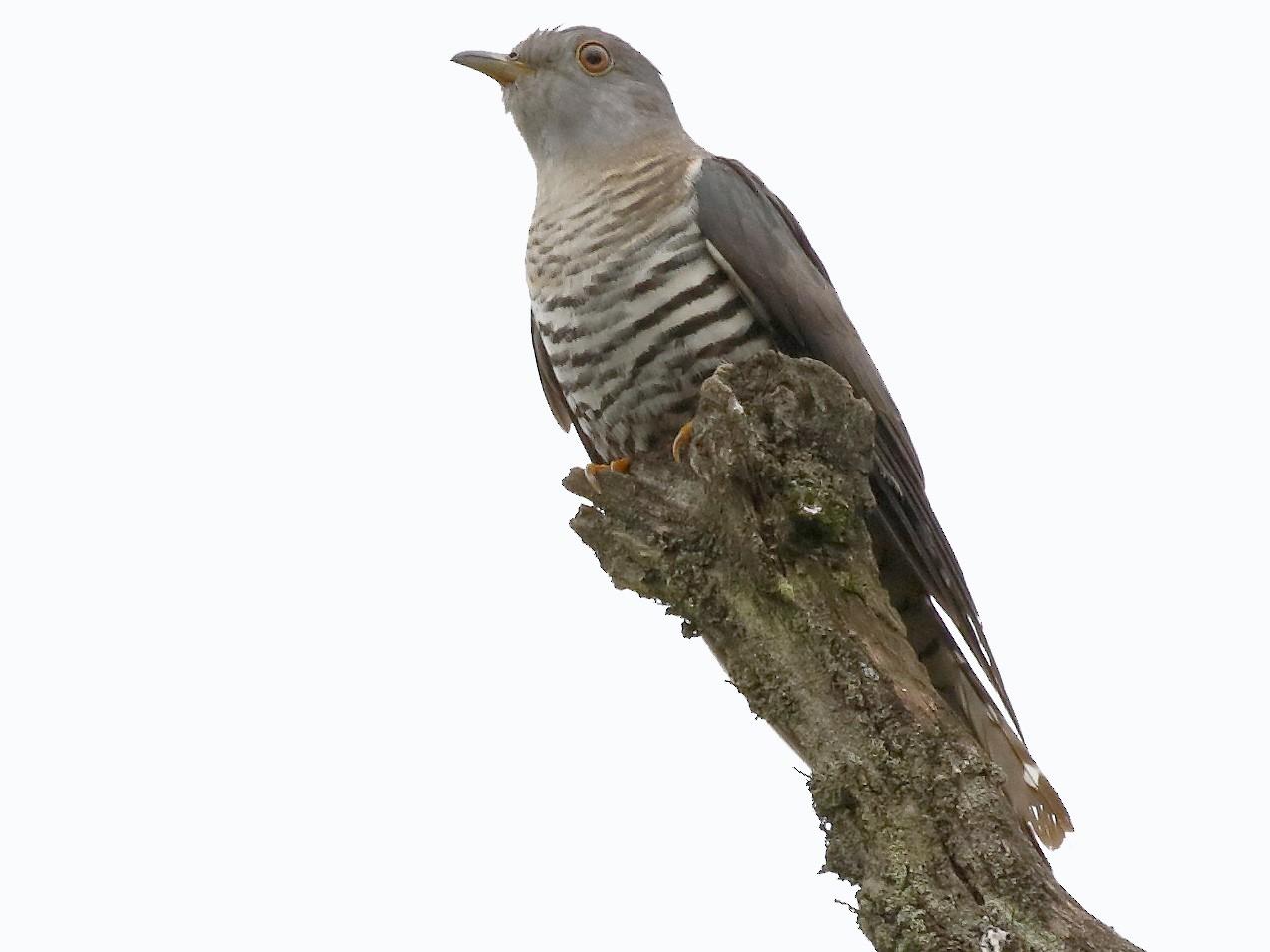 Lesser Cuckoo - Dave Curtis