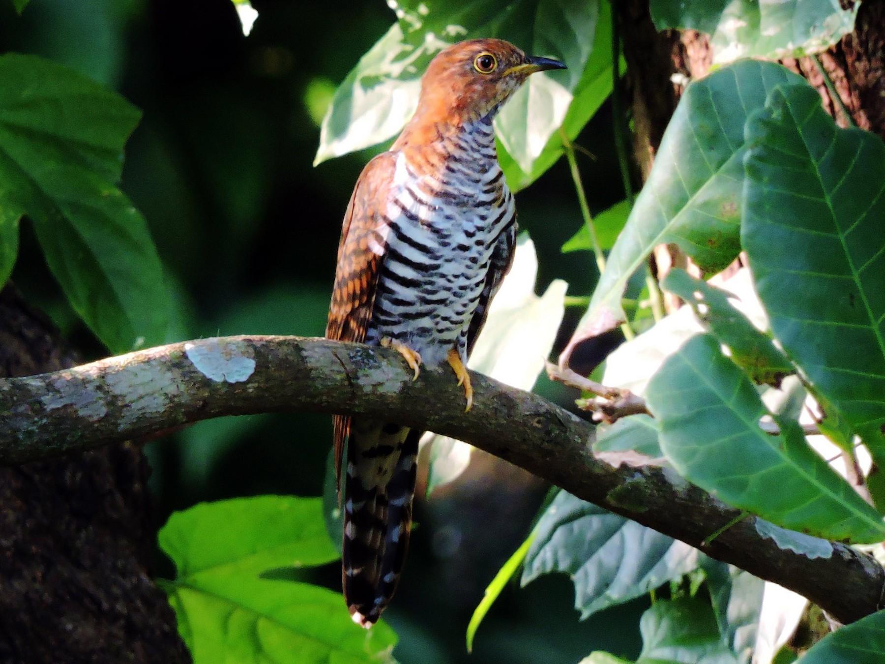 Lesser Cuckoo - Stephen  Menezes