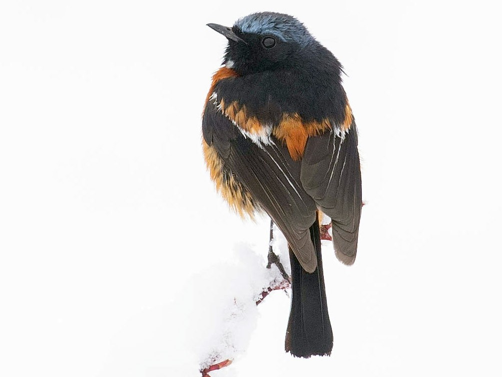White-throated Redstart - Doug Gochfeld