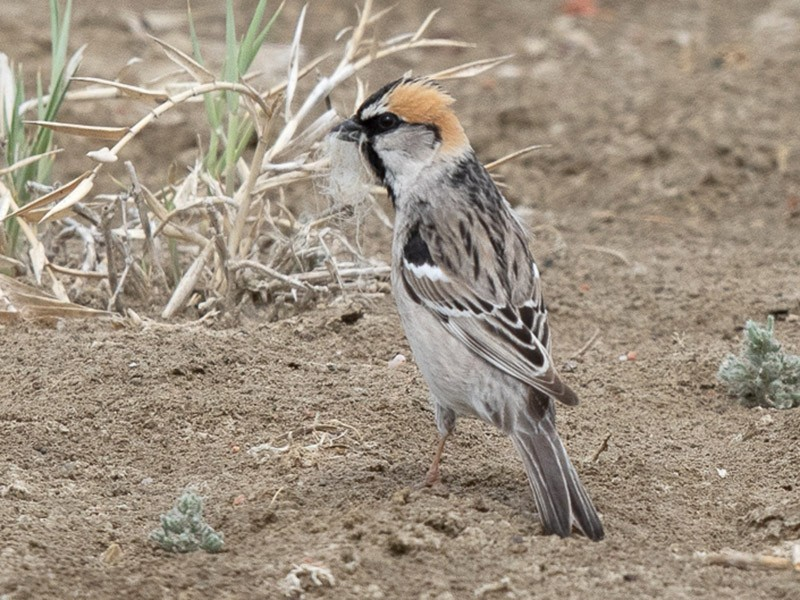 Saxaul Sparrow - Frédéric PELSY