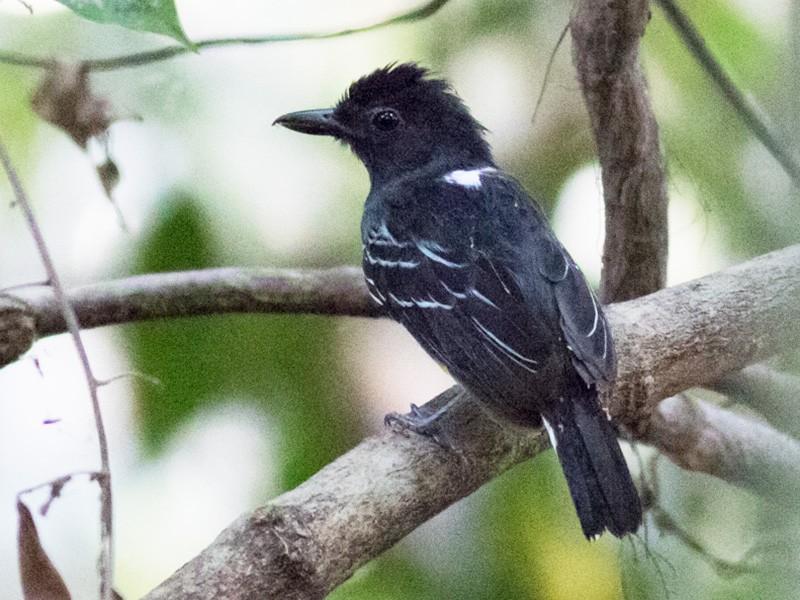 Blackish-gray Antshrike - Tom Johnson