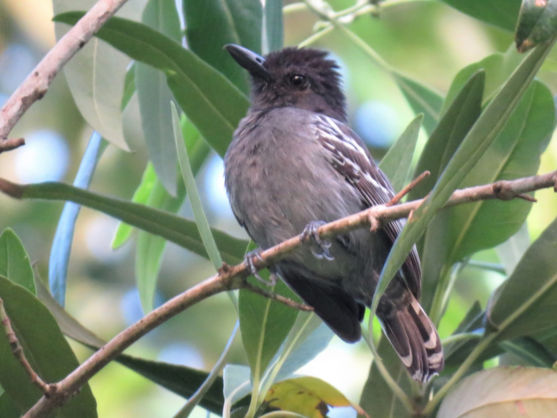 Blackish-gray Antshrike - Hugo Foxonet