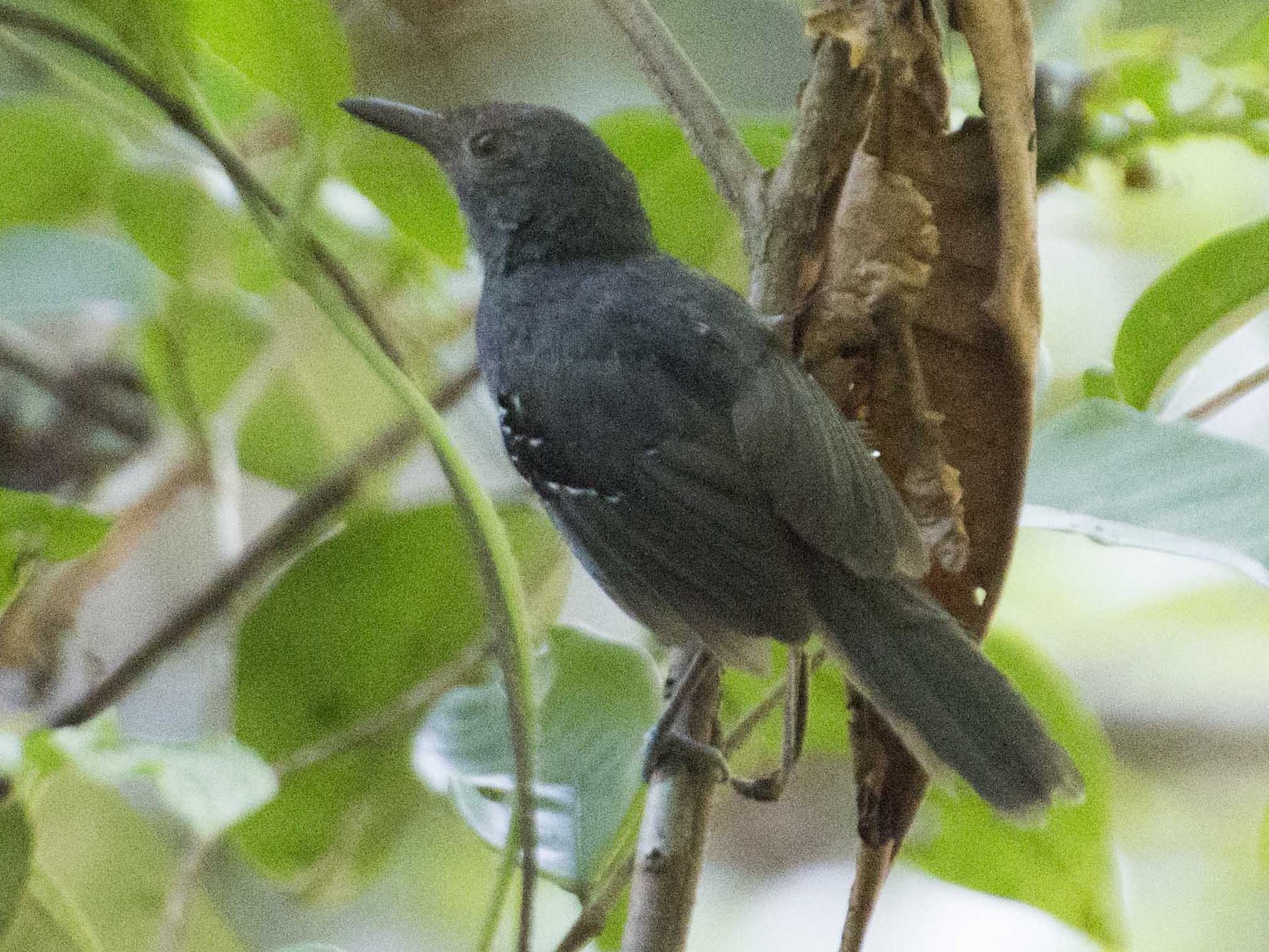 Willis's Antbird - José Clarindo Silva