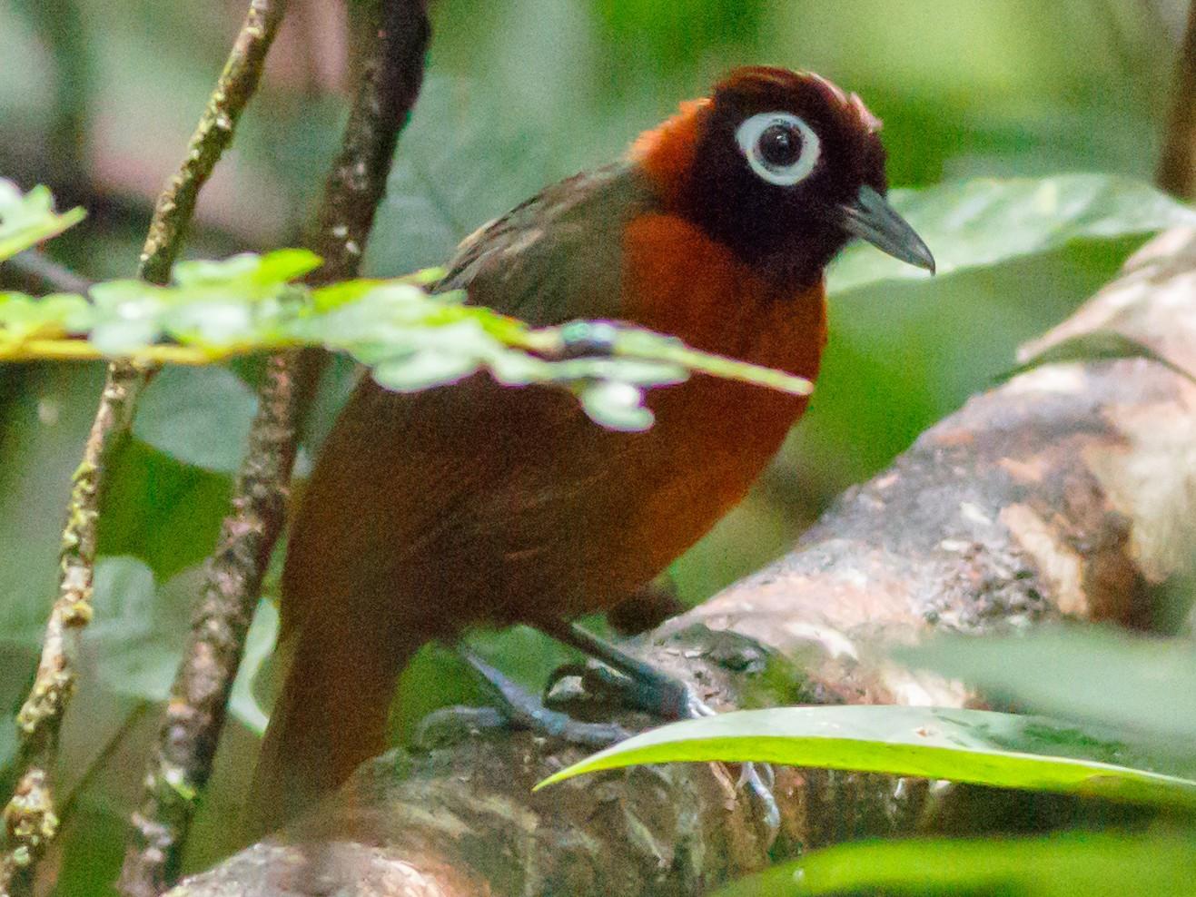 Chestnut-crested Antbird - Daniel Orozco Montoya