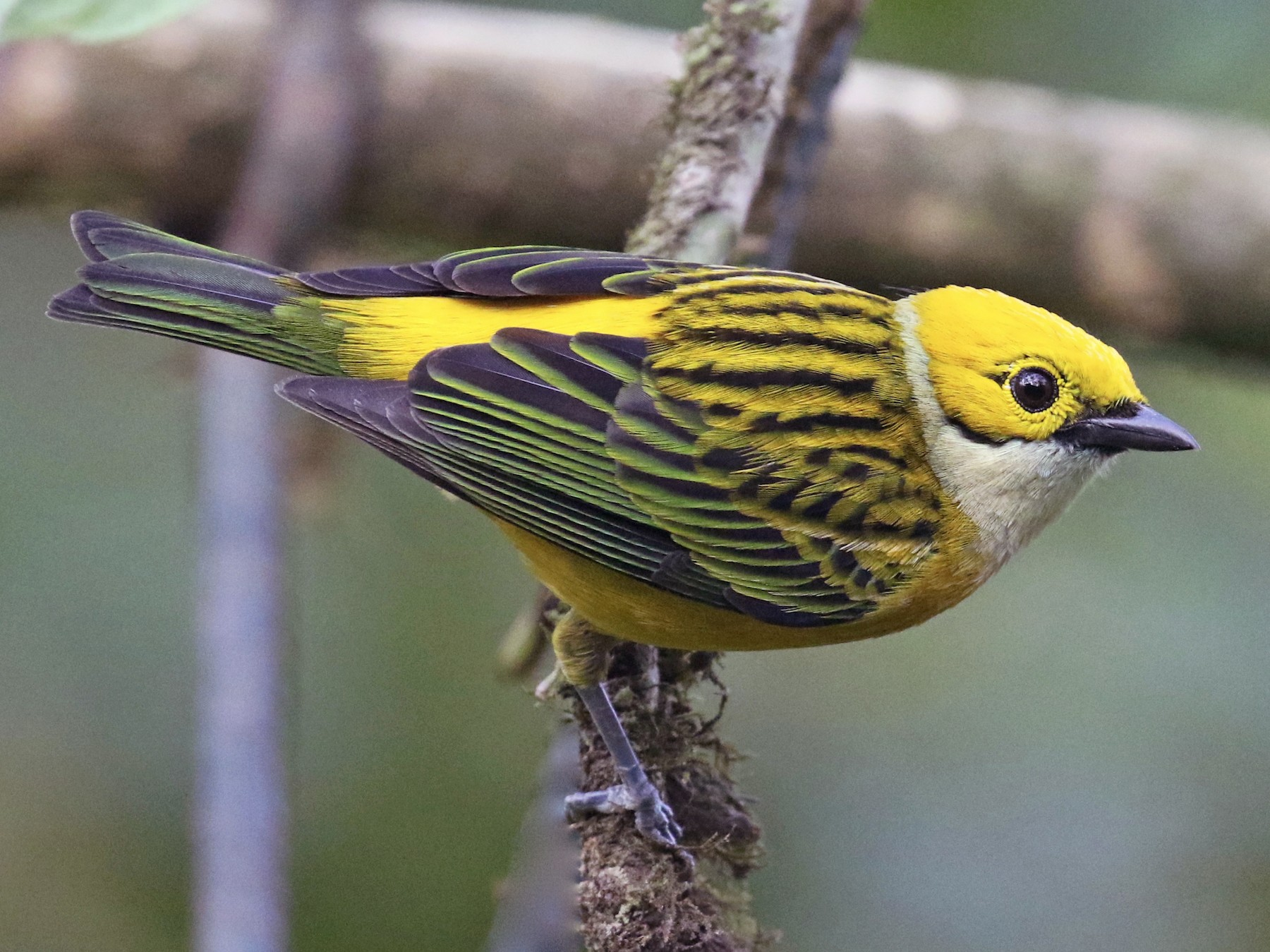 Silver-throated Tanager - Paul Koker