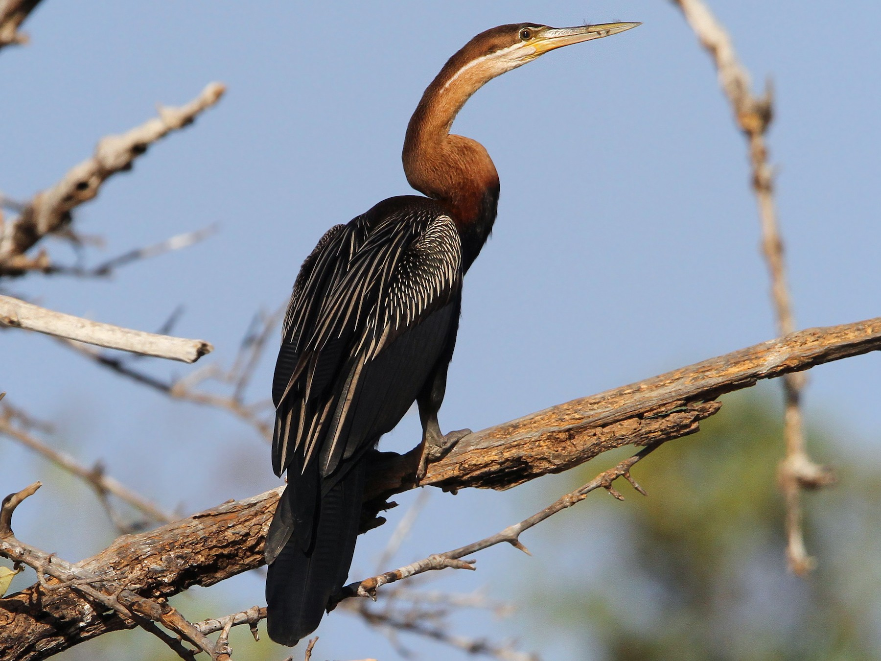 African Darter - Christoph Moning