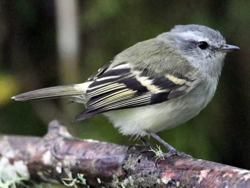 White-tailed Tyrannulet - Steve Davis
