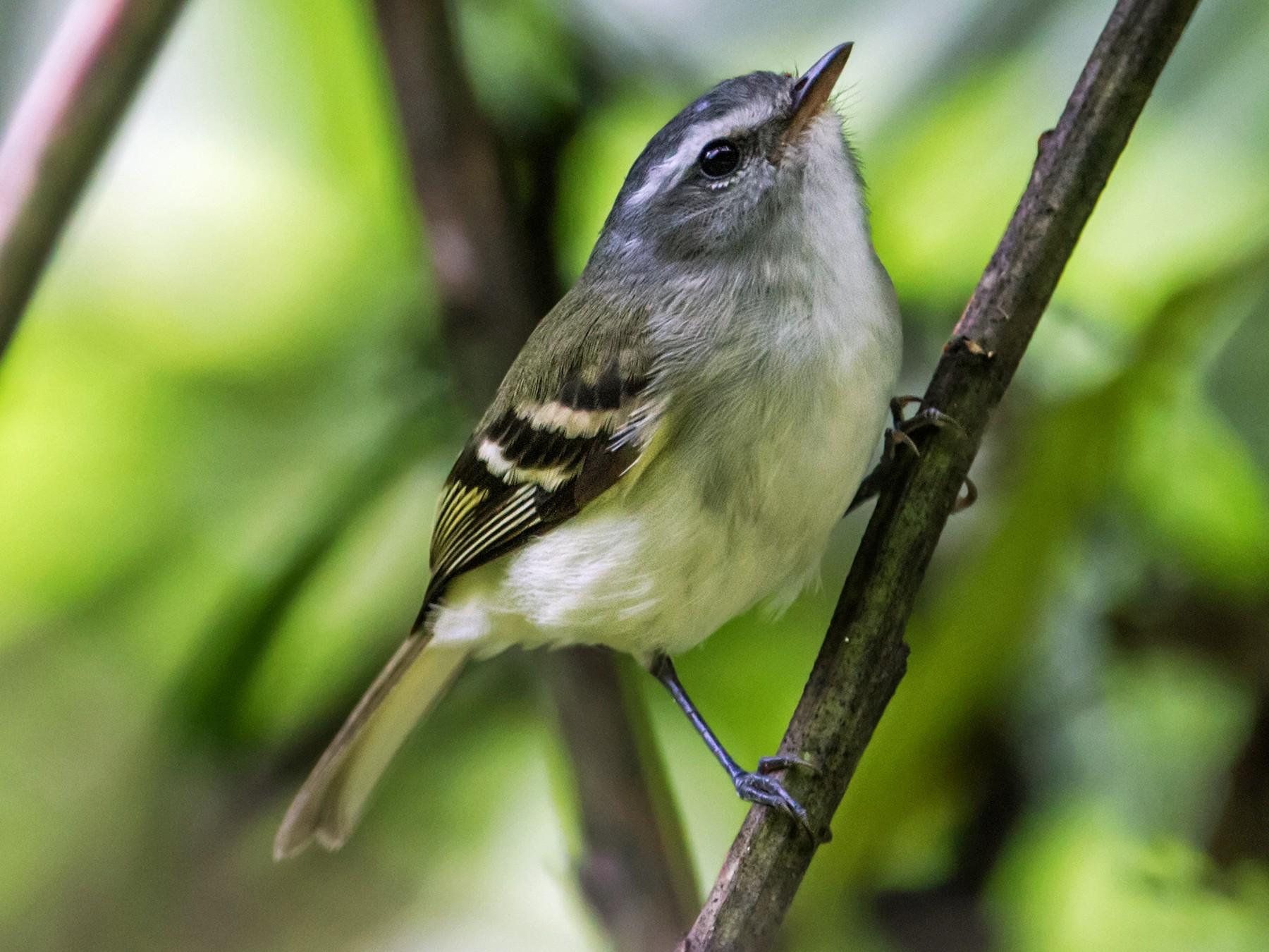 White-tailed Tyrannulet - Nick Athanas