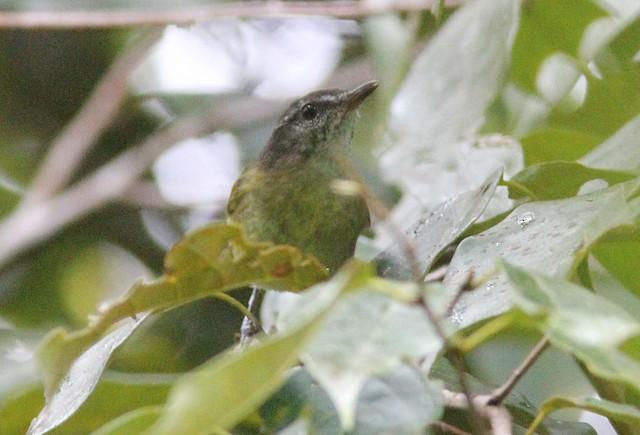 Banggai Leaf Warbler (undescribed form)