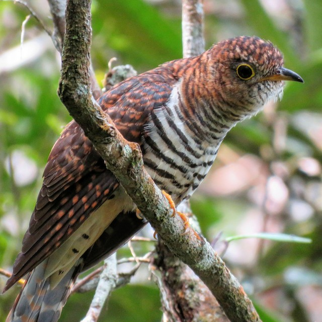 Sunda Cuckoo