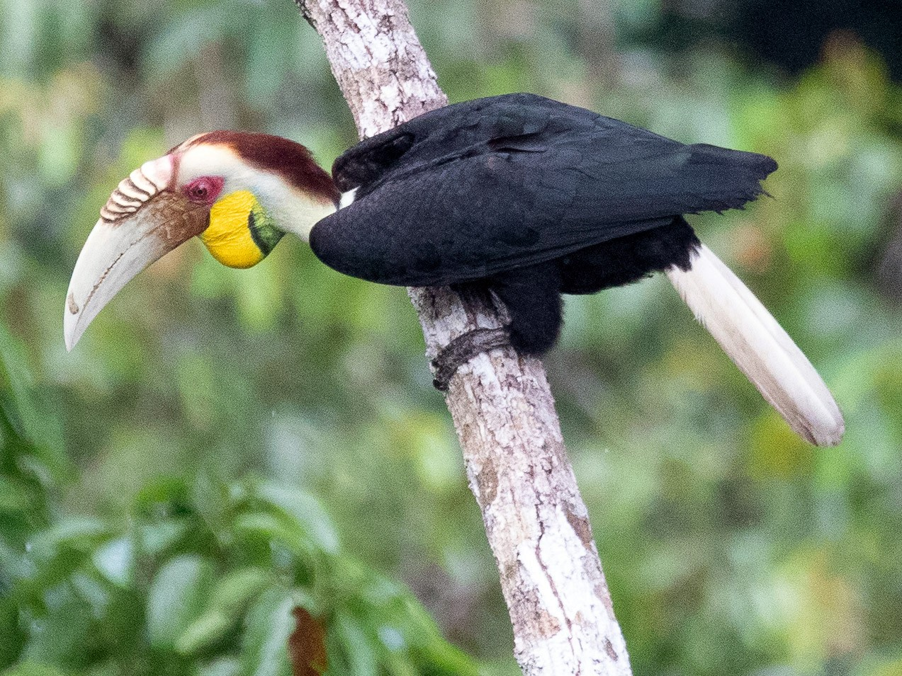Wreathed Hornbill - Tony Byrne