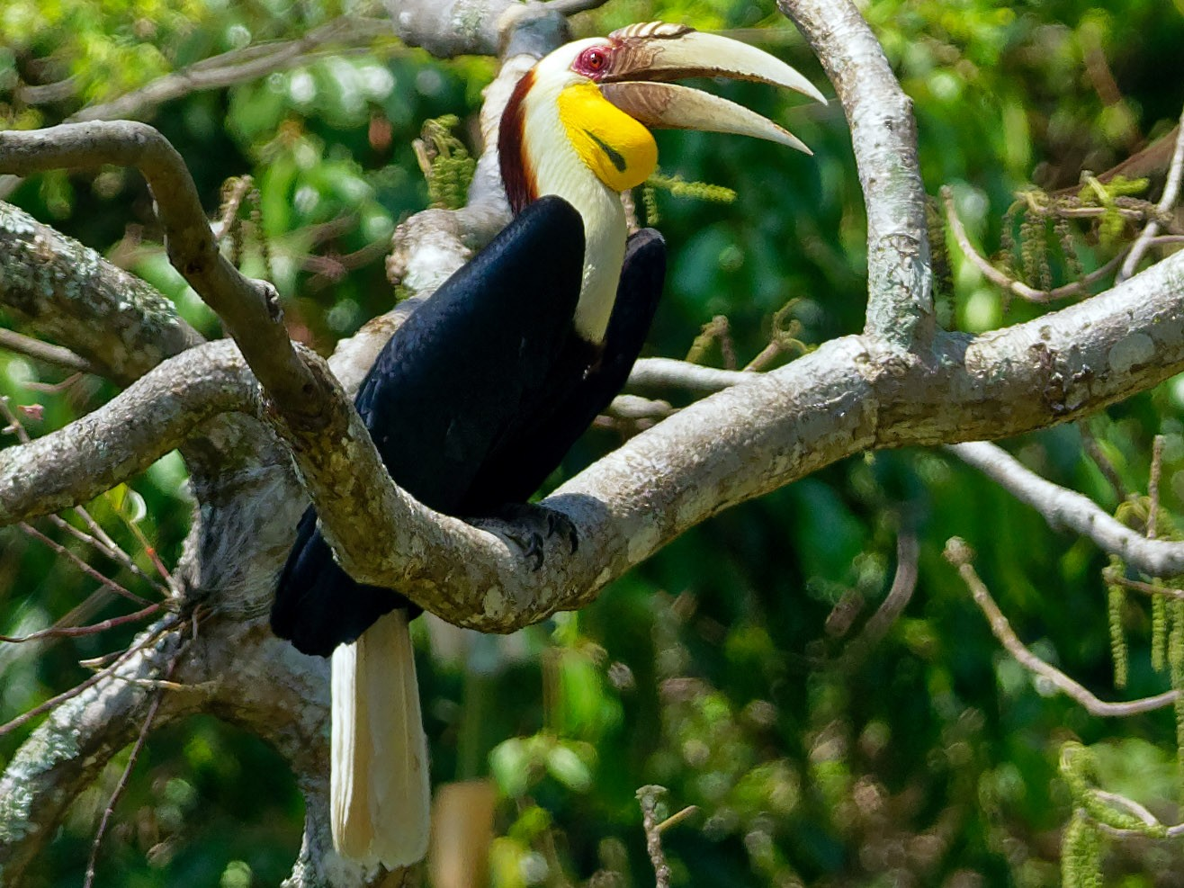 Wreathed Hornbill - Vincent Wang