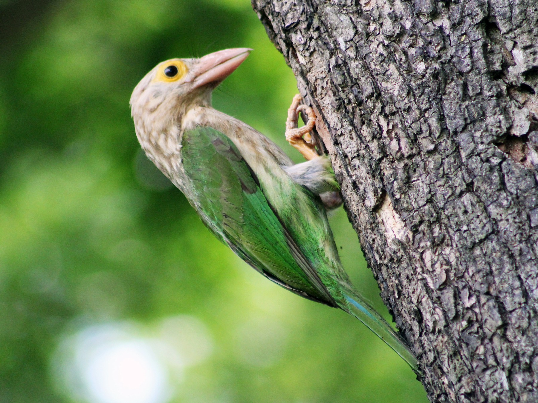 Lineated Barbet - Anamul Hassan