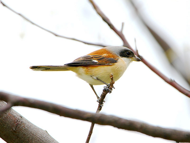 Burmese Shrike - Roland Lo