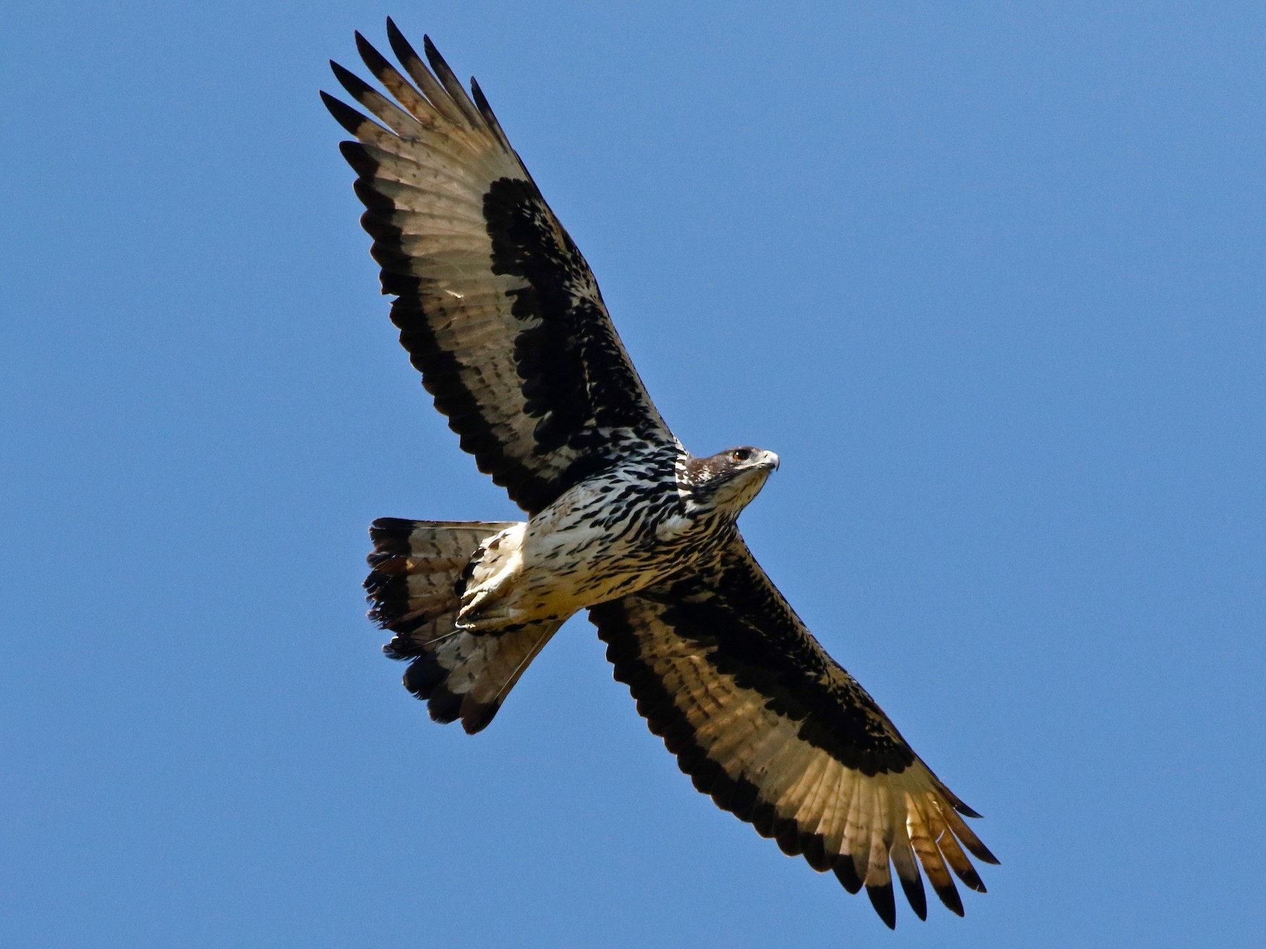 African Hawk-Eagle - Don Roberson