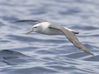 - White-capped Albatross