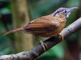 - Gray-throated Babbler
