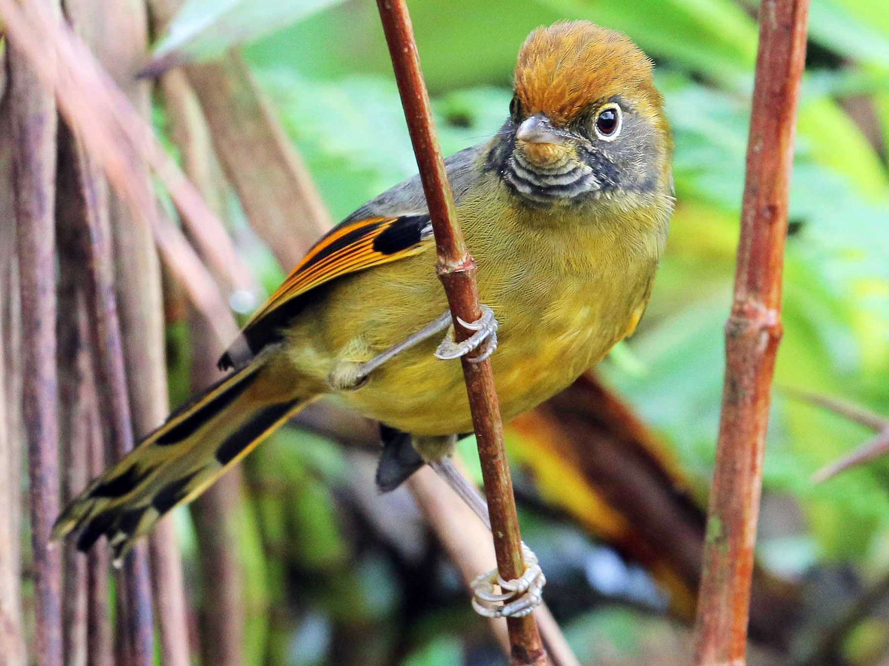 Chestnut-tailed Minla - Neoh Hor Kee