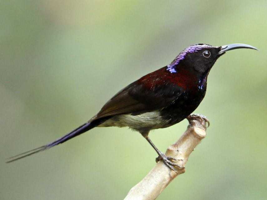 Black-throated Sunbird - Subhadra Devi