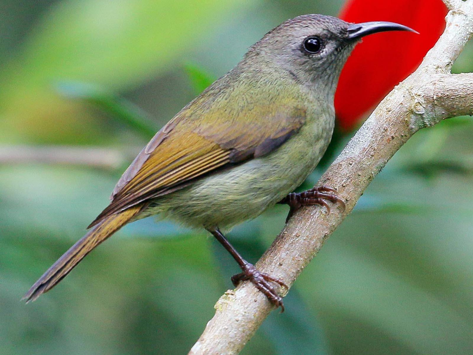 Black-throated Sunbird - Neoh Hor Kee