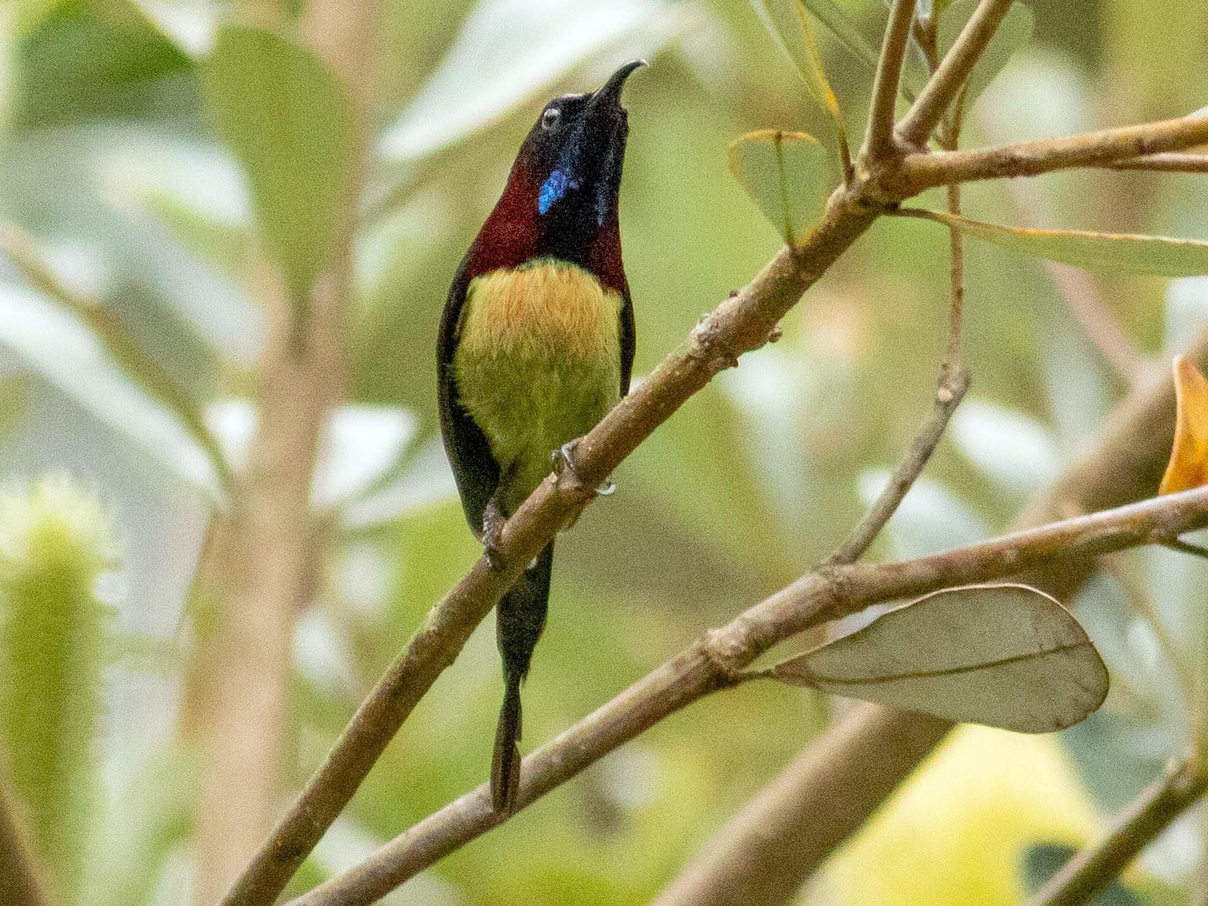 Black-throated Sunbird - Paul Fenwick