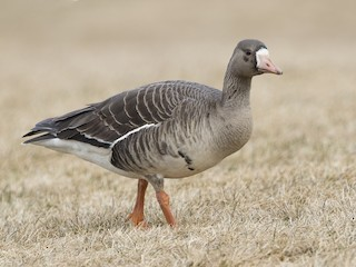 - Greater White-fronted Goose