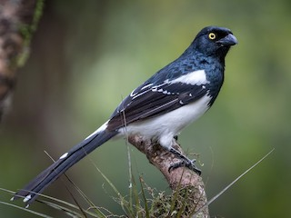 - Magpie Tanager