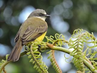 - Gray-capped Flycatcher