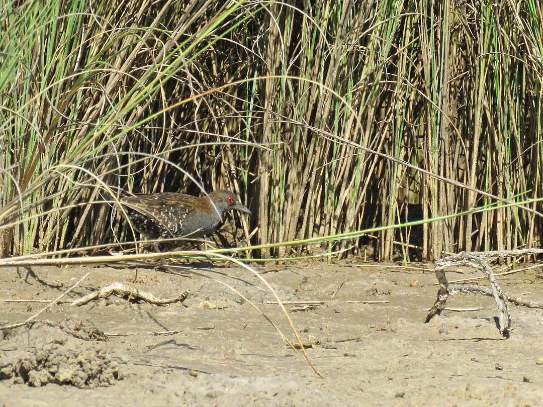 Dot-winged Crake - Adrian Antunez