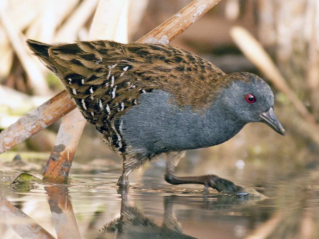 Dot-winged Crake - Horacio Luna