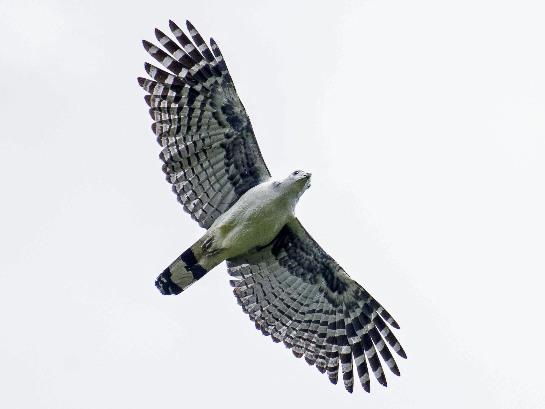 Gray-headed Kite - Cyril Coomansingh