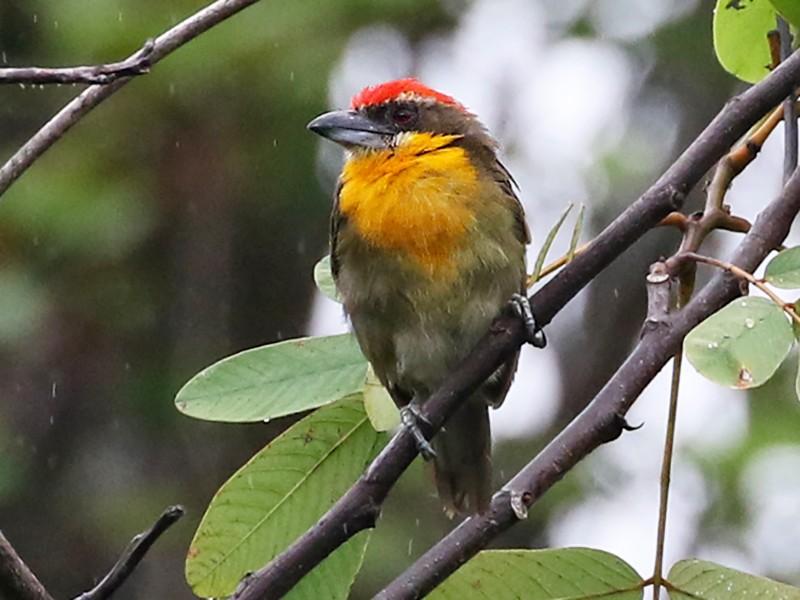 Scarlet-crowned Barbet - Charley Hesse TROPICAL BIRDING