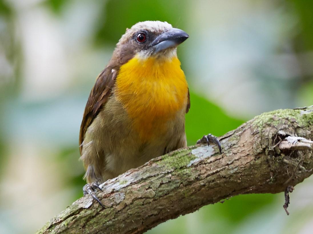 Scarlet-crowned Barbet - Michael Muchmore